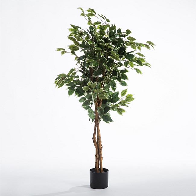 Winter Ficus Tree
