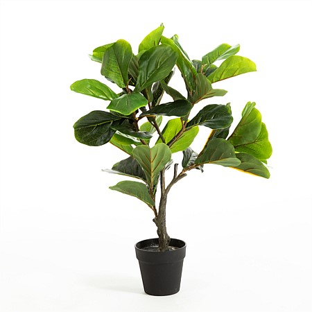 Everlasting Aston Fiddle Fig