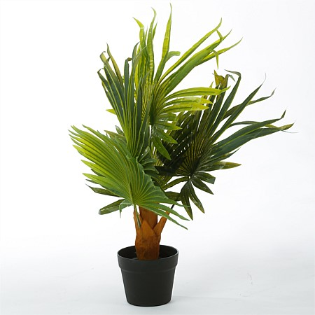 Everlasting Lady Finger Palm 70cm